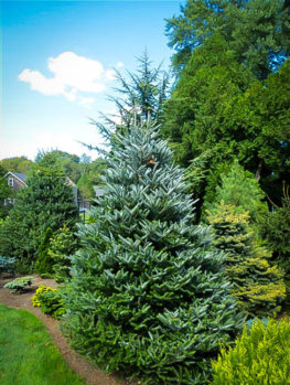 Horstmanns Silberlocke Korean Fir