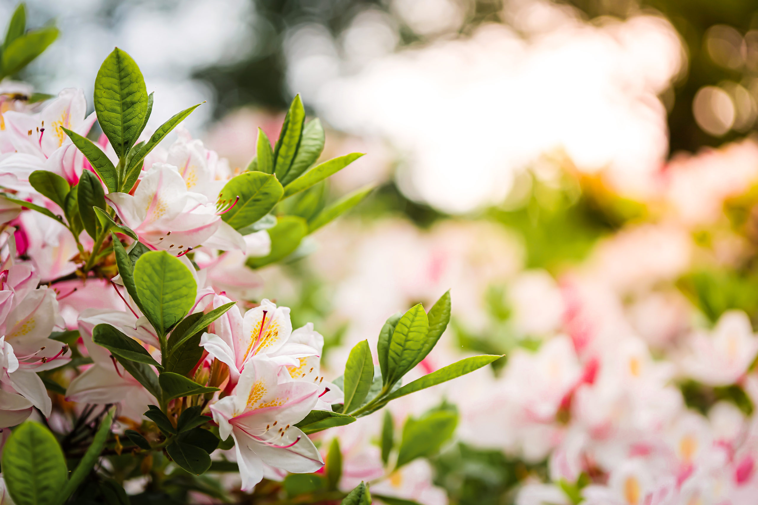 How To Plant Rhododendrons Azaleas And Camellias The Tree Center