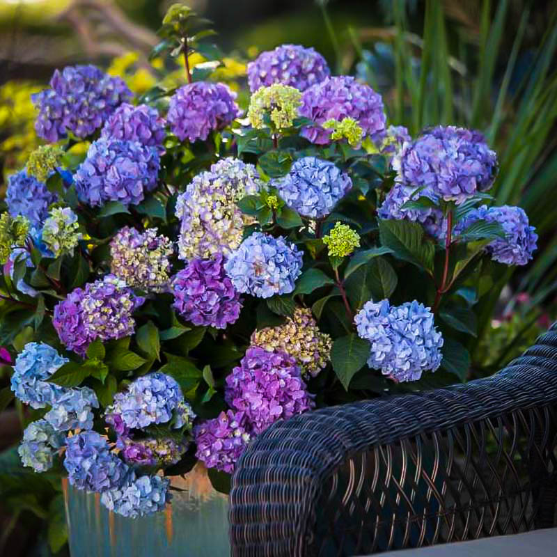 Bloomstruck Hydrangeas For Sale Online The Tree Center
