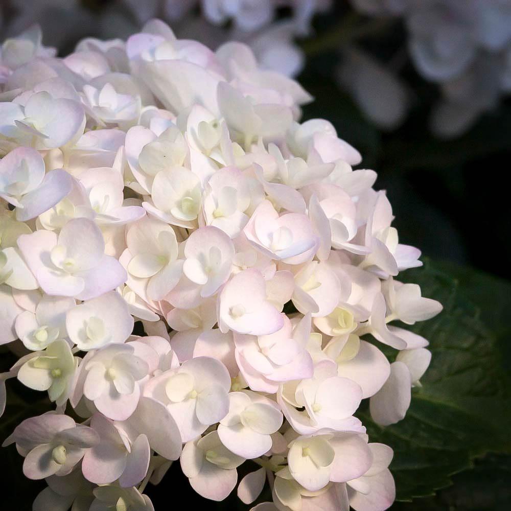 Blushing Bride Hydrangeas For Sale The Tree Center