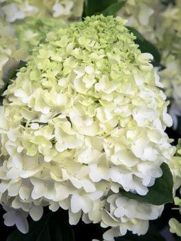 White Wedding Hydrangea