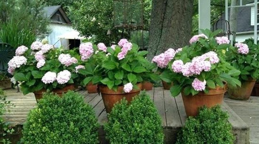 Shrubs for Planters, Pots and Boxes