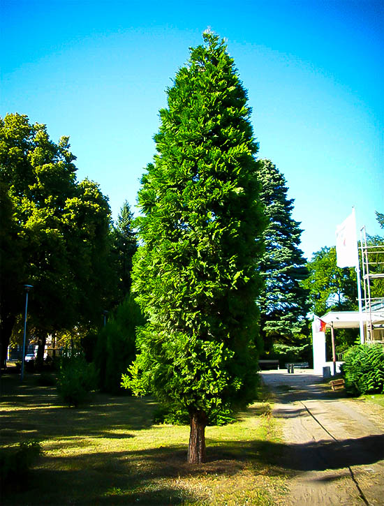 California Incense Cedar Trees For Sale Online The Tree