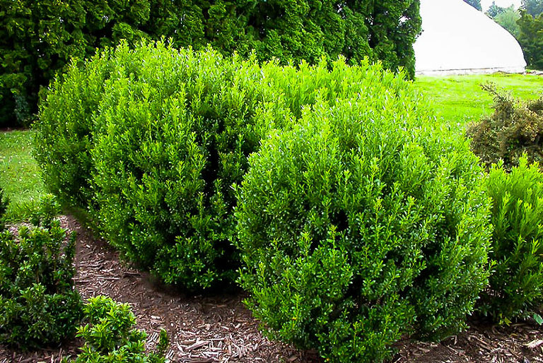 Compact Inkberry Holly