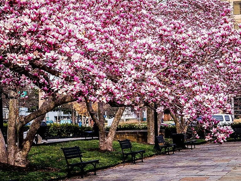 Row of Blooming Jane Magnolia Trees