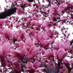 Jane Magnolia Flowers