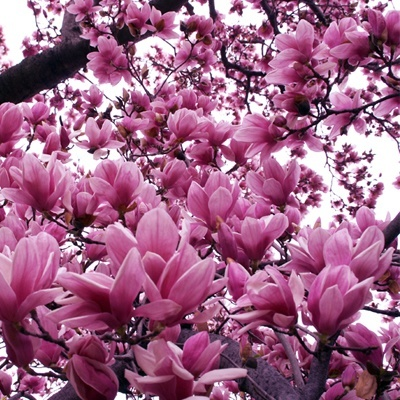 Jane Magnolia Trees For Sale Buy Jane Magnolias The Tree Center
