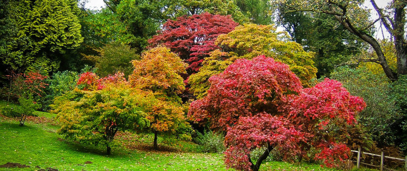 The Complete Japanese Maple Guide
