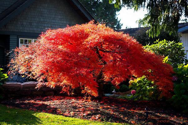 Orangeola Japanese Maple