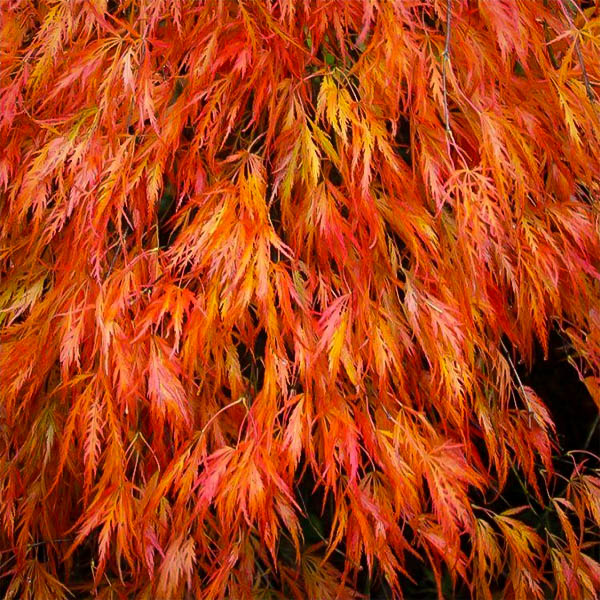 Orangeola Japanese Maple For Sale The Tree Center