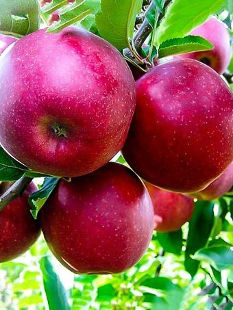 Jonathan Apple Tree