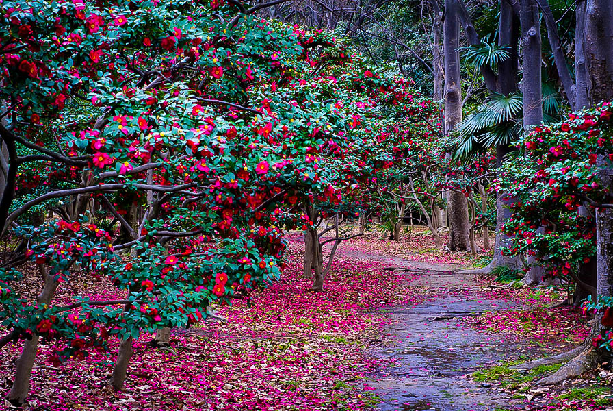 Kanjiro Camellias For Sale Online The Tree Center