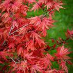 Acer Palmatum Kasagi-yama Leaves