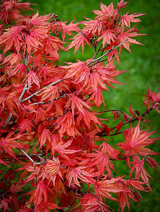 Kasagiyama Japanese Maple