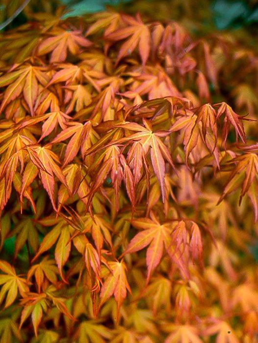 Katsura Japanese Maple