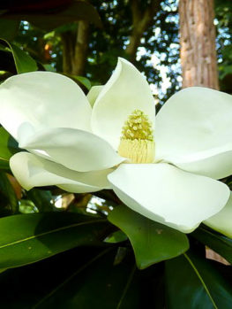 Kay Parris Magnolia