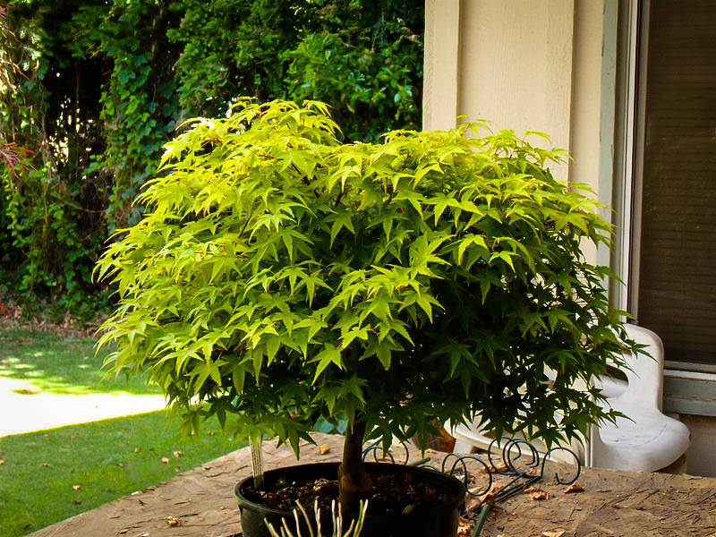 kiyohime japanese maple for sale online the tree center