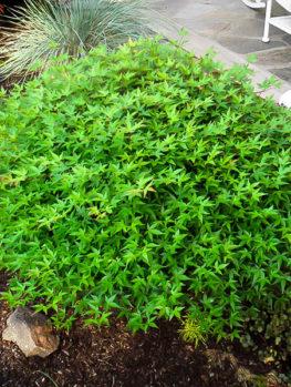 Kiyohime Japanese Maple