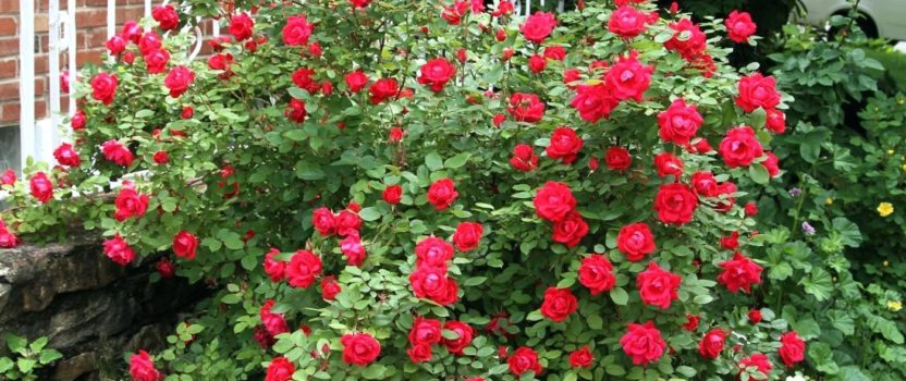Two Level Rose Growing – What a Display!