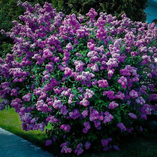 Lavender Lady Lilac Bush