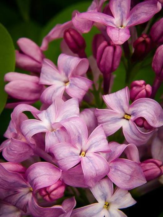 Lavender Lady Lilac
