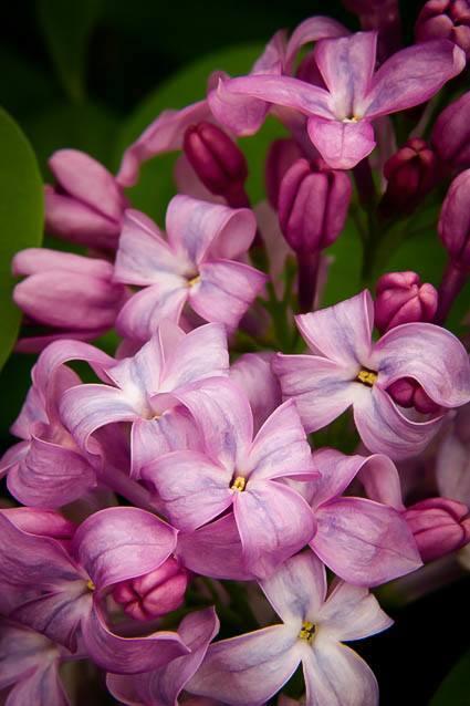 Lavender Lady Lilac Flowers