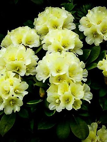 Lemon Dream Rhododendron