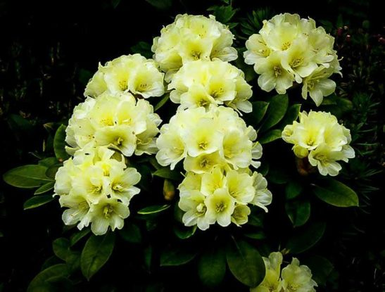 Lemon Dream Rhododendron