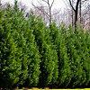 Leyland Cypress Trees
