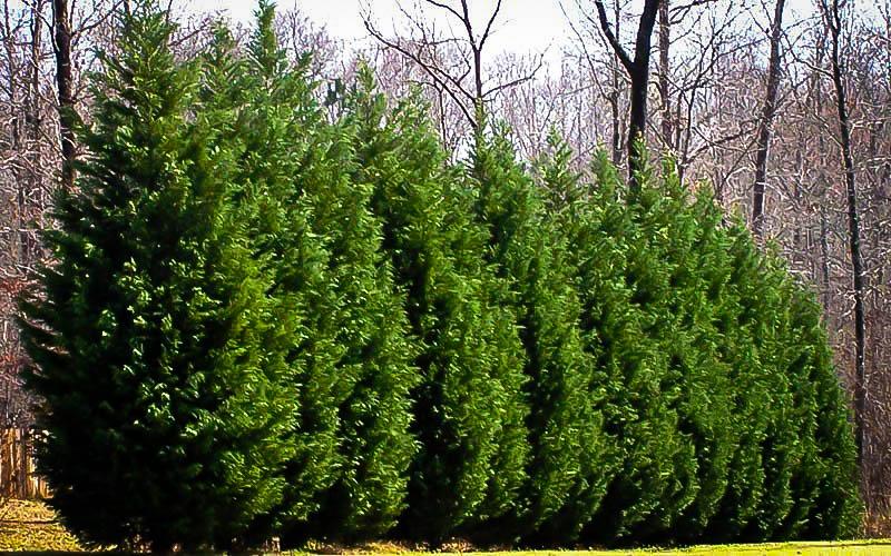 Planting Leyland Cypress Trees