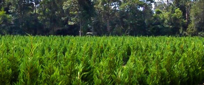 Growing Leyland Cypress Trees