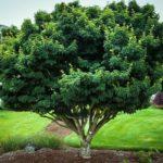 Lion's Head Japanese Maple Tree