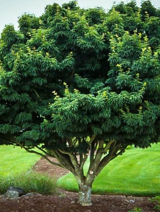 Shishigashira Lions Head Japanese Maple