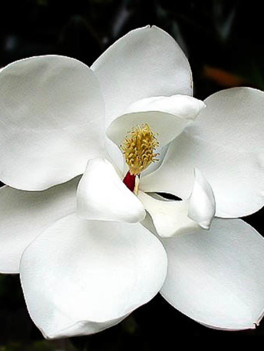 Little Gem Southern Magnolia
