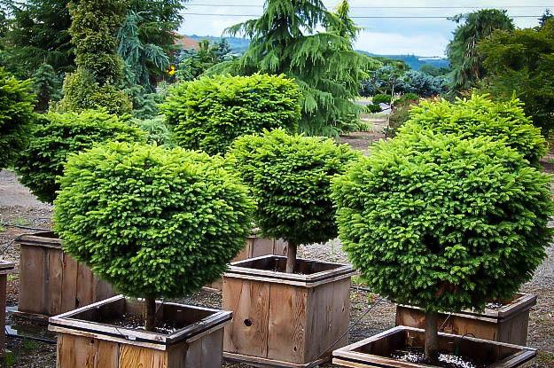 Little Gem Norway Spruce Trees