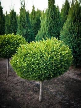 Skip Laurel Shrubs Buy Skip Laurels Online The Tree Center