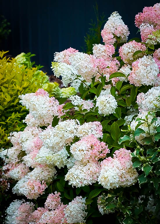 Little Lamb Hydrangea For Sale Online | The Tree Center