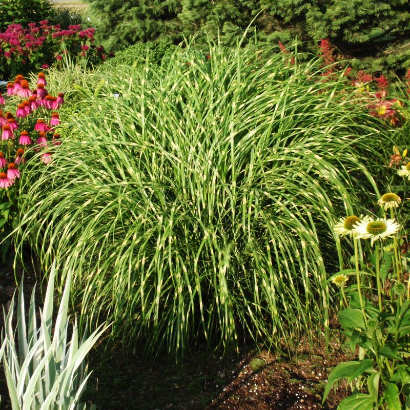 Little Zebra Grass For Sale Online The Tree Center