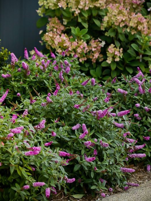 LO & BEHOLD® Pink Micro Chip Butterfly Bush