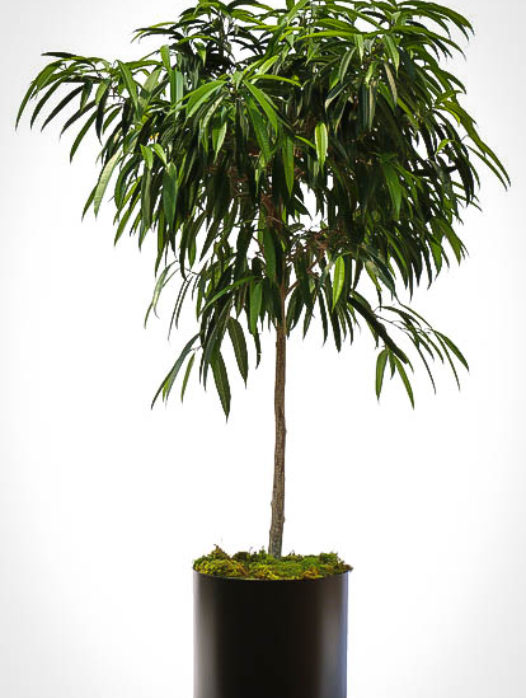 Long Leaf Ficus Tree