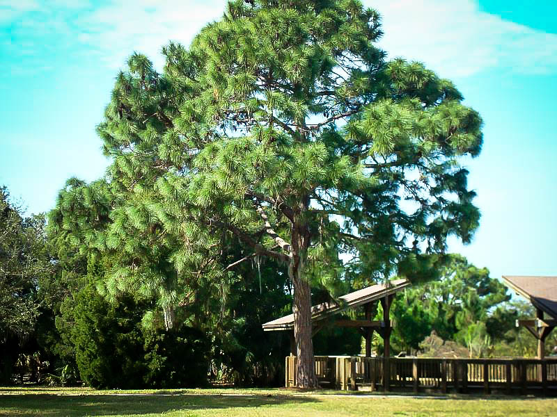 Longleaf Pine Trees For Sale Online | The Tree Center