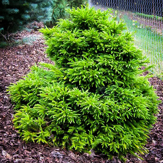 Magic Dragon Cryptomeria Trees For Sale Online The Tree Center