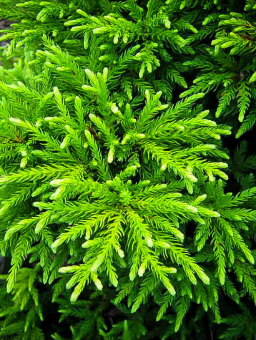 Magic Dragon Cryptomeria Japanese Cedar