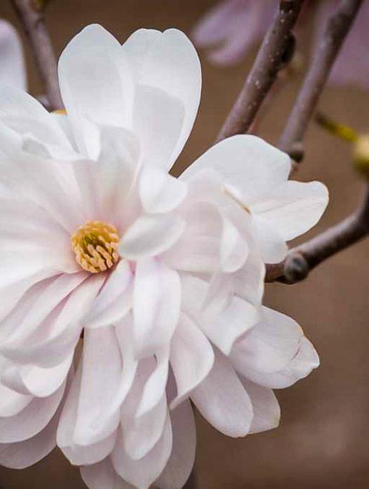Centennial Blush Magnolia