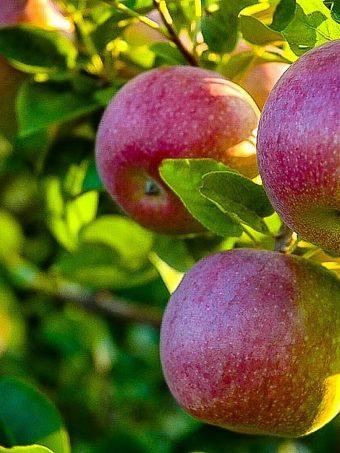 McIntosh Apple Tree
