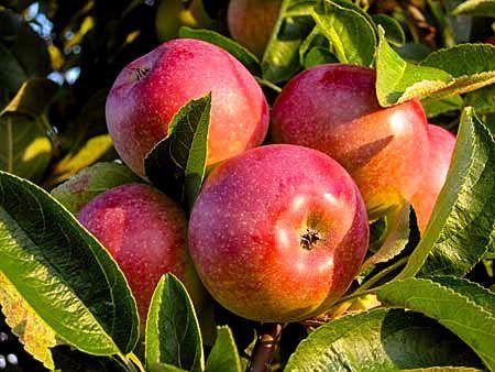McIntosh Apples on Tree