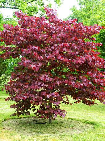 Redbud Trees For Sale Buy Redbud Trees Online The Tree Center