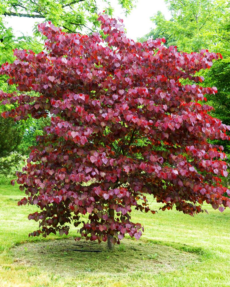 Merlot Redbud Tree For Sale Online The Tree Center