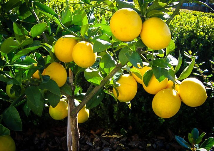 Meyer Lemon Tree Guide The Center