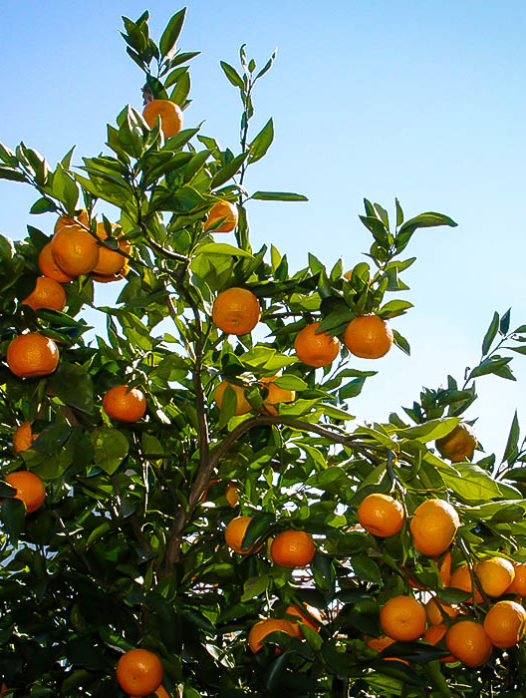 Miho Satsuma Orange Tree